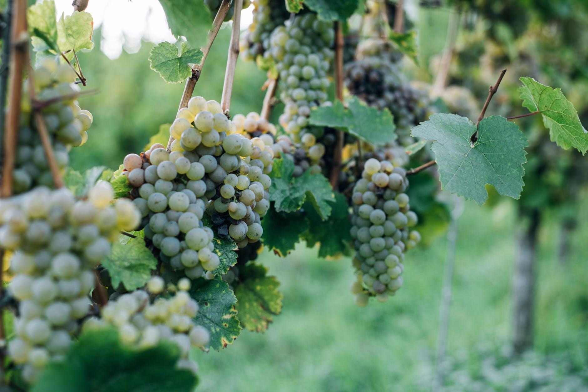 ripe grapes with leaves on vine